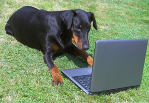 doberman doing research on a laptop