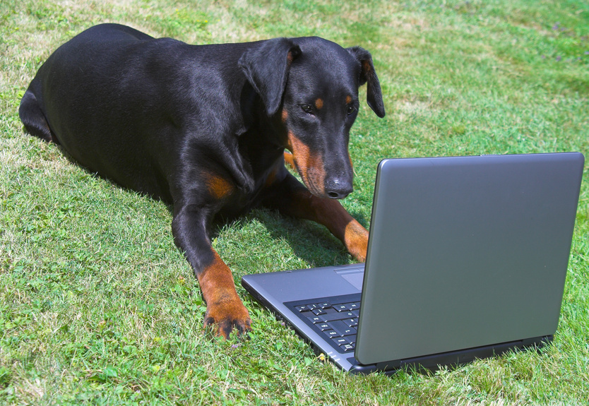 doberman looking at a laptop